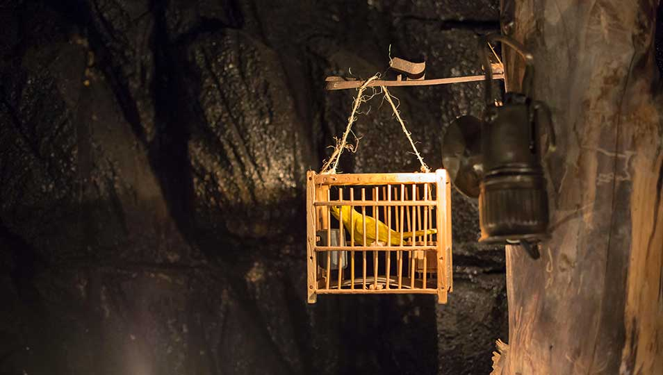 Canaries once used in coal mines